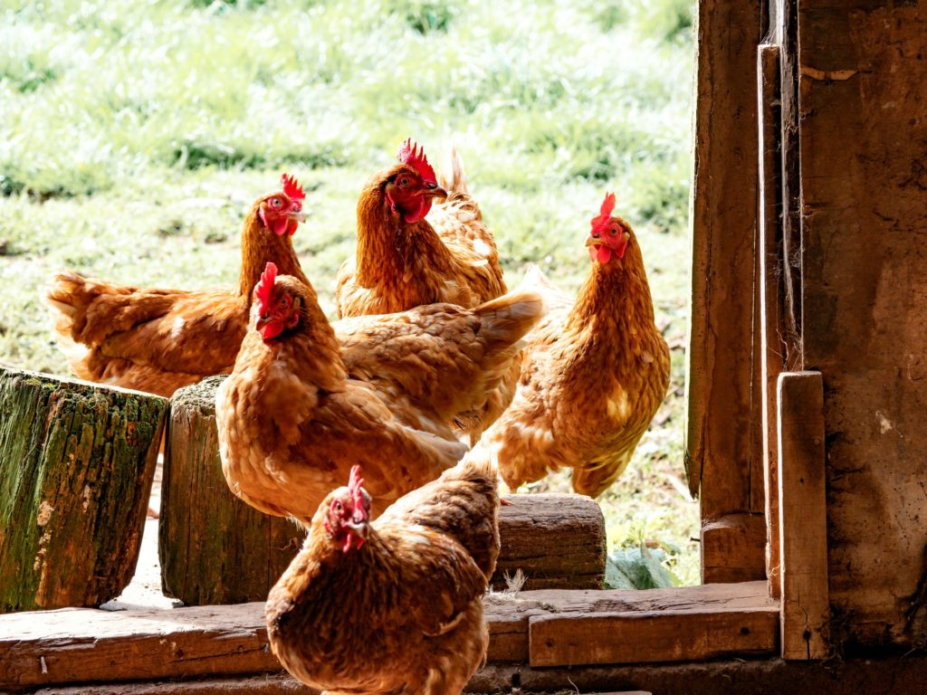 7 Useful Tips for Raising Chickens in Your Backyard for the First Time - The Prepper Journal
