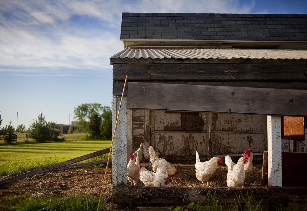 Raising chickens in your backyard requires a coop.